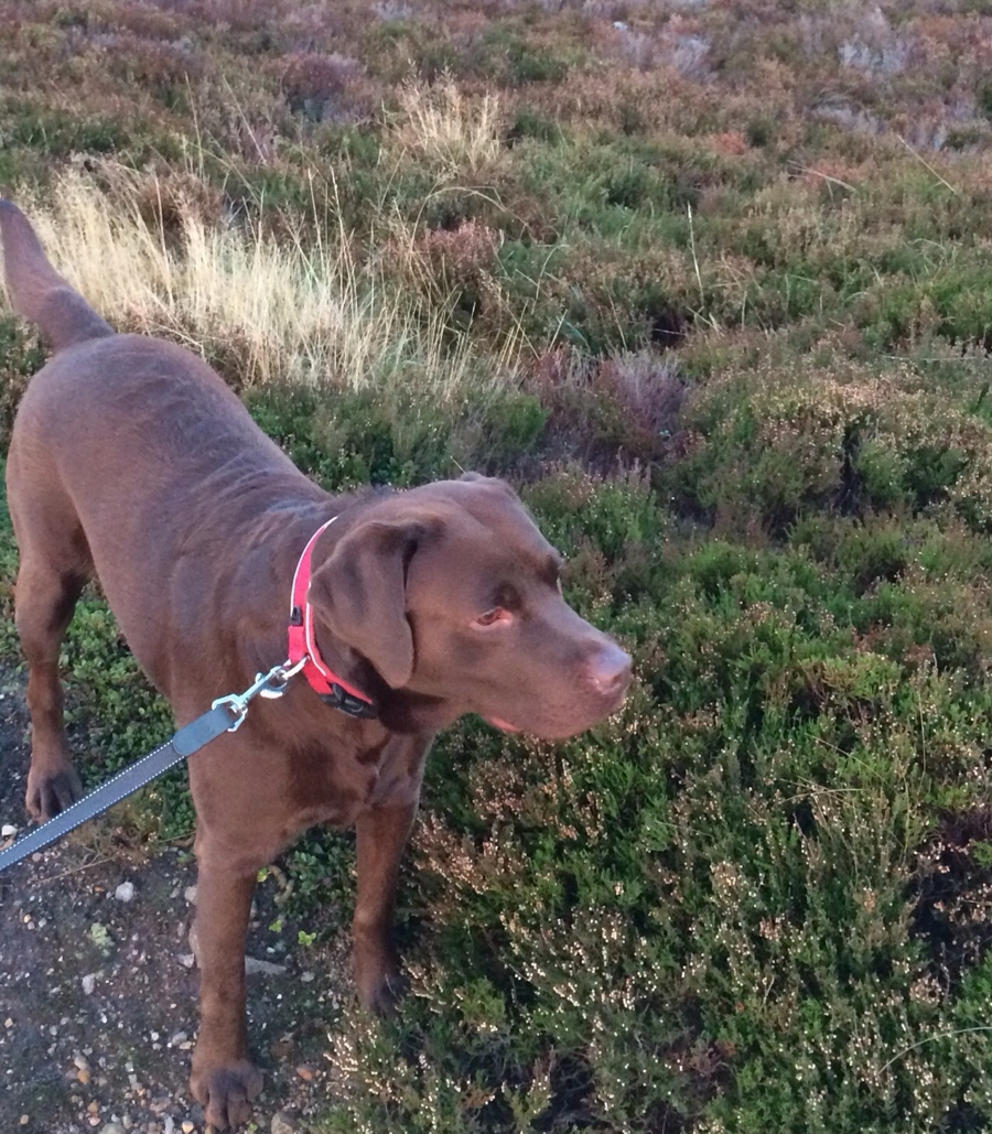 Chocolate-labrador-heather-scotland