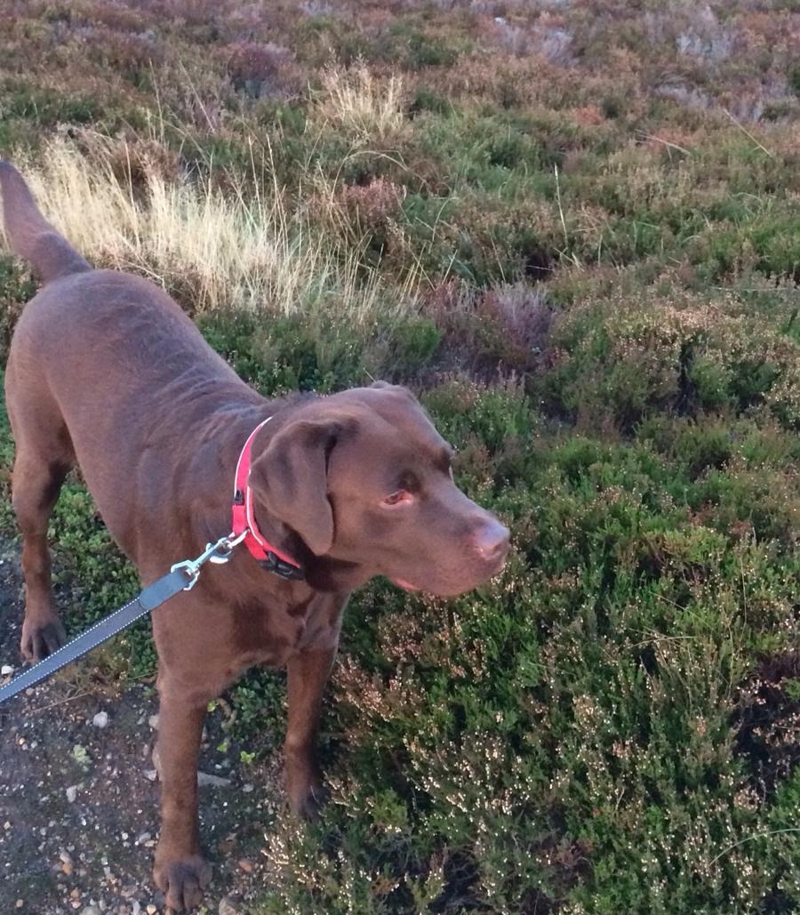 Chocolate-labrador-heather-scotland