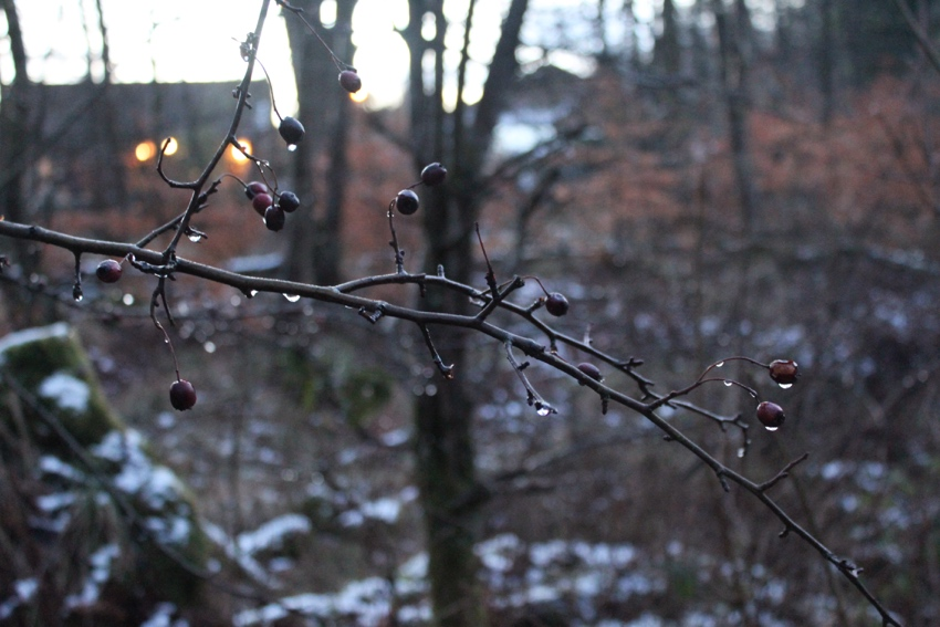 Berries-snow-thawing-Glasgow