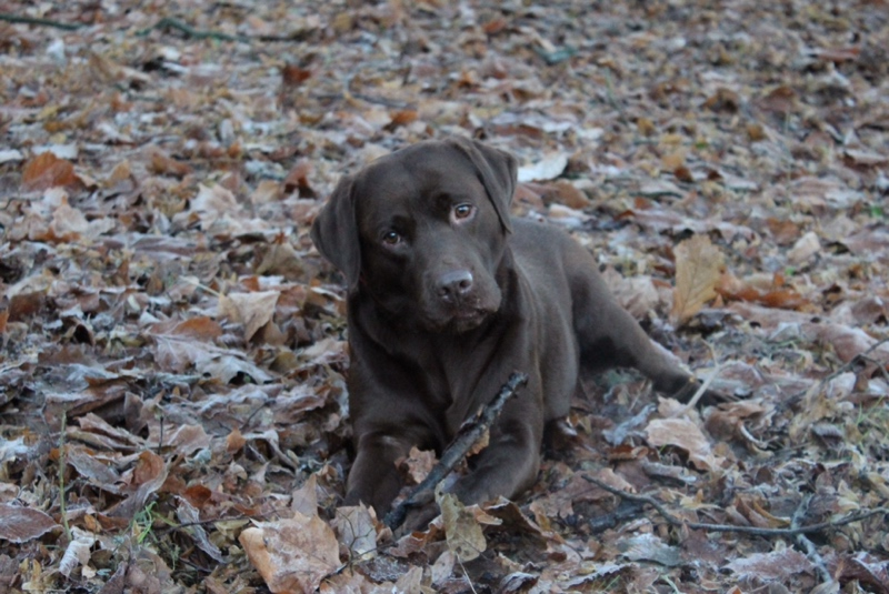 Chocolate-Labrador-frozen-leaves-Glasgow