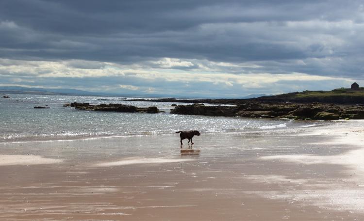 Chocolate-labrador-beach-days