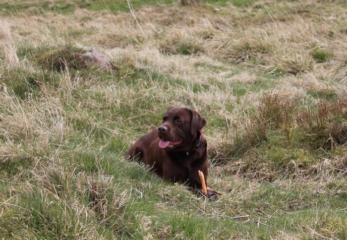 Carron-valley-reservoir-Scotland-chocolate-Labrador
